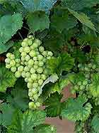 Виноград сорта Коломбар
